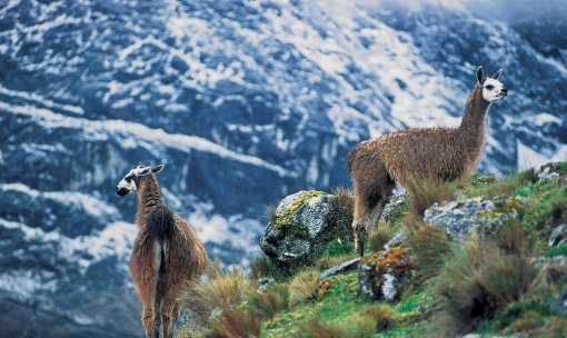 On the way back down we were able to snap a picture of some wild Alpaca´s. Something about these animals really makes you feel like you are in Peru.
