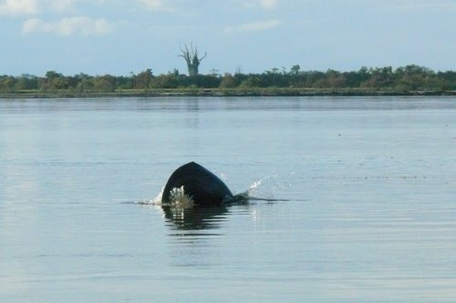 As we were cruising there was a pod of river dolphins playfully following our boat.